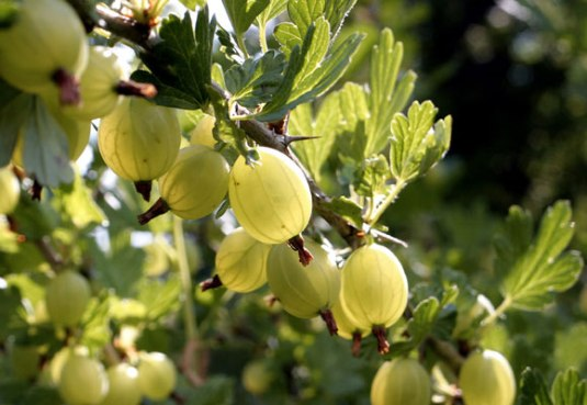 Tales from Allotment 65 – on gooseberries and slugs
