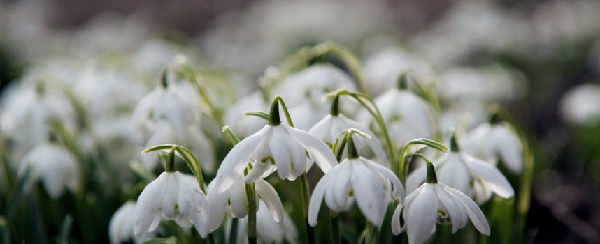 Valleyfield Snowdrops: free guided walks